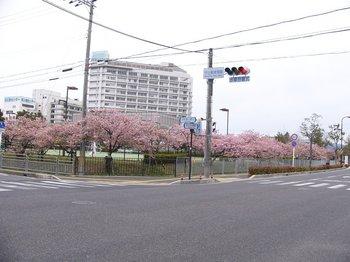 ふれあいテニスコートの桜.jpg