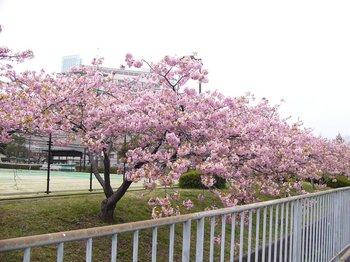 ふれあいテニスコートの桜2.jpg