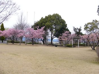 運動公園の桜1.jpg