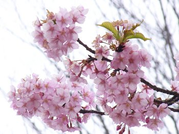 運動公園の桜3.jpg